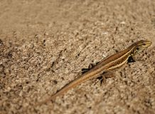 Background with lizard Royalty Free Stock Image