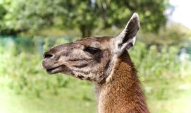 Background with a llama looking aside in a field Royalty Free Stock Photo