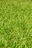 Background of long blades of grass Royalty Free Stock Image