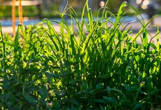Background of long blades of uncut grass in summer royalty free stock image