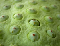 Background lotus seeds Stock Photography