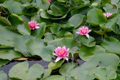 Background - lotuses Royalty Free Stock Photography