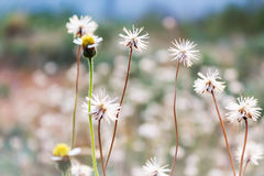 Background of lovely white and yellow wild grass flower field on Stock Photo