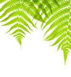 Background with lush fern leaves Royalty Free Stock Photography