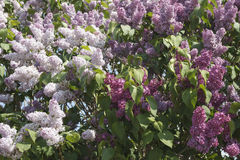 Background of lush flowering lilac. Three lilac Bush forming beautiful natural picture stock photo