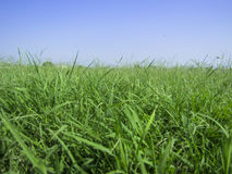 Background of lush grass and blue sky one. royalty free stock photos