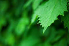 Background with lush green grape leaves Royalty Free Stock Photography