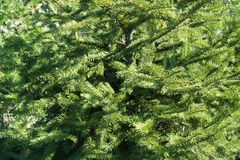 Background - lush green leafage of young spruce. Tree Royalty Free Stock Photography