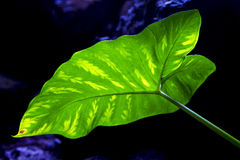 background  macro  black   leaf and his veins in the light Stock Images