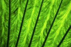 Background  macro close up abstract of a  green  black   leaf an Royalty Free Stock Photo