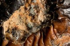 Macro rotting apple with mold. Background macro rotting apple with mold Stock Photos