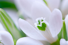 Background of macro snowdrop flowers Royalty Free Stock Photos