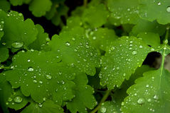 Background made by celandine foliage covered with dew Stock Photo