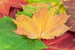 Background made of colorful maple leaves Royalty Free Stock Images