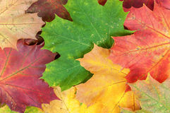 Background made of colorful maple leaves Royalty Free Stock Photos