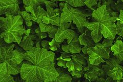 Background made of fresh green ivy leaves toned Chartreuse color. Green dynamic backdrop. Toned nature background stock photos