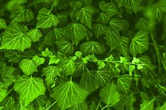 Background made of fresh green ivy leaves toned Chartreuse color. Green dynamic backdrop. Toned nature background stock photography