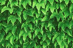 Background made of fresh green leaves toned Chartreuse color. Green dynamic backdrop. Toned nature background stock photography
