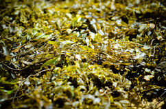 Background made of green seaweed. shallow focus Royalty Free Stock Image