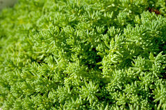 Background made by lush sedum Stock Photos