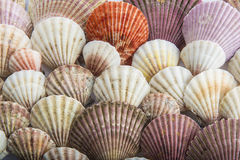 Background made of seashells Royalty Free Stock Photo