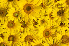 Background made of sunflowers Stock Photo