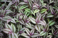 The background made of wandering jew plant Royalty Free Stock Photos