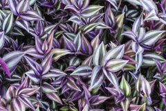 Background made of wandering jew Royalty Free Stock Photos