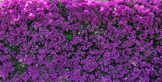 Background: magenta Bougainvillea (Paper flower) Royalty Free Stock Photos