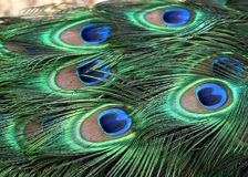 Background Of Male Peacock Or Pavo Cristatus feathers. Peacock Or Pavo cristatus feathers on male peacock at Lisbon Zoo Lisbon Portugal stock photos