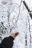 Background man`s hand in a black jacket shakes snow from a snowy tree branch. In a winter forest Royalty Free Stock Photo