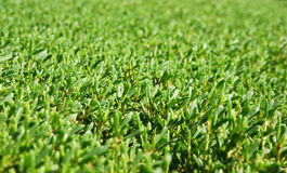 Background of the manicured green bushes Royalty Free Stock Image