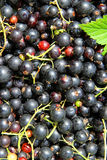 Background of the many berries black currant Stock Photos