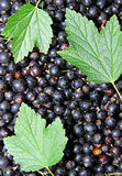 Background of the many berries black currant Royalty Free Stock Photography