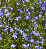 Background of many blue flowers Royalty Free Stock Photos