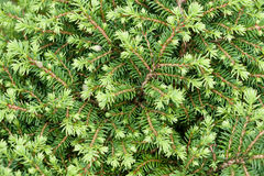 Background of many green branches spruce bush Royalty Free Stock Image