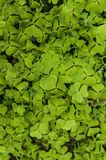 Background green clovers. Background of many green clovers Royalty Free Stock Photos