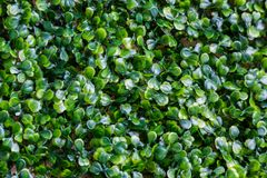 Background of many green small leaves is evenly distributed throughout the frame.  Royalty Free Stock Photo