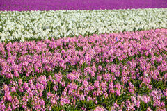 Background of many hyacinthus on dutch spring fields Royalty Free Stock Image