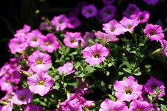 The Background of many pink or violet flower on garden Royalty Free Stock Photo