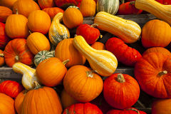 Background of many pumpkins Stock Photos