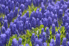 Background of many purple flowers Royalty Free Stock Photography