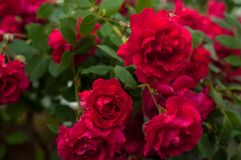 Bright red roses with buds on a background of a green bush after rain. Beautiful red roses in the summer garden. Stock Image