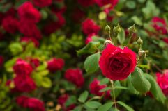 Bright red roses with buds on a background of a green bush. Beautiful red roses in the summer garden. Royalty Free Stock Images