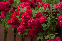 Bright red roses with buds on a background of a green bush. Beautiful red roses over brown fence in the summer garden. Royalty Free Stock Photography