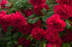Bright red roses with buds on a background of a green bush after rain. Beautiful red roses in the summer garden. Royalty Free Stock Image