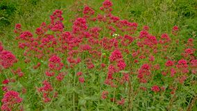 Background of many red valerian flowers in a wild naturalist garden - Centranthus ruber. Background of many  red valerian flowers in a wild naturalist garden Stock Image