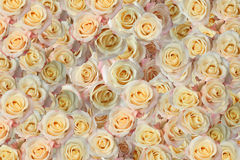 Background of the many roses Royalty Free Stock Image