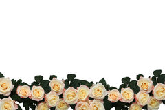 Background of the many roses Stock Photography