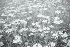 Background of many small flowers of chrysanthemum Royalty Free Stock Images